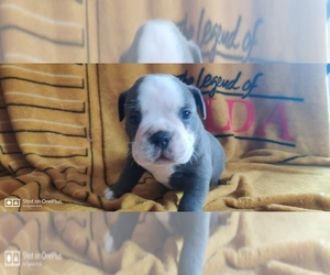 Olde English Bulldogge Puppy for Sale in BERLIN, Connecticut USA