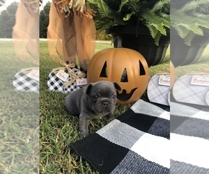 French Bulldog Puppy for Sale in PARAGOULD, Arkansas USA
