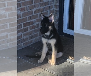 German Shepherd Dog Puppy for sale in NORTH RICHLAND HILLS, TX, USA