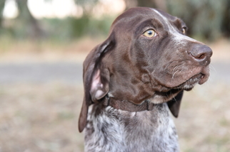 View Ad German Shorthaired Pointer Puppy For Sale Near California
