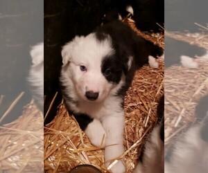 Border-Aussie Puppy for sale in SANDY, OR, USA