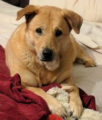 Gracie  Yellow Lab Mix to Adopt in Baltimore MD