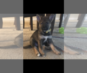 Alaskan Malamute-German Shepherd Dog Mix Puppy for sale in BALTIMORE, MD, USA