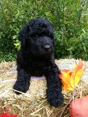 Labradoodle Puppy For Sale in PIERSON, FL, USA