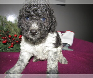 Poodle (Toy)-Saint Bernard Mix Puppy for sale in RENO, NV, USA