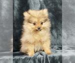 Puppy 12 Pomeranian