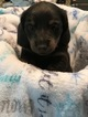 Dachshund Puppy For Sale in LEXINGTON, South Carolina,