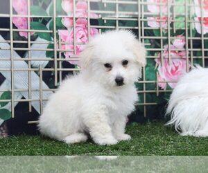 Poodle (Miniature) Puppy for sale in MARIETTA, GA, USA