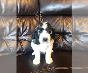 Saint Berdoodle Puppy for sale in FINLAYSON, MN, USA