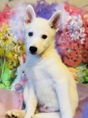 Alaskan Klee Kai Puppy For Sale in PORT SAINT LUCIE, FL, USA