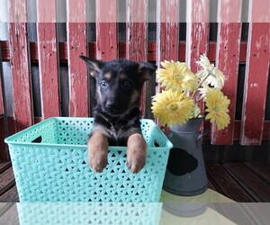 German Shepherd Dog Puppy for sale in LOUISVILLE, KY, USA