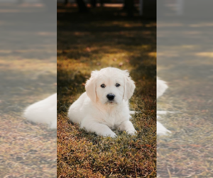 Medium English Cream Golden Retriever