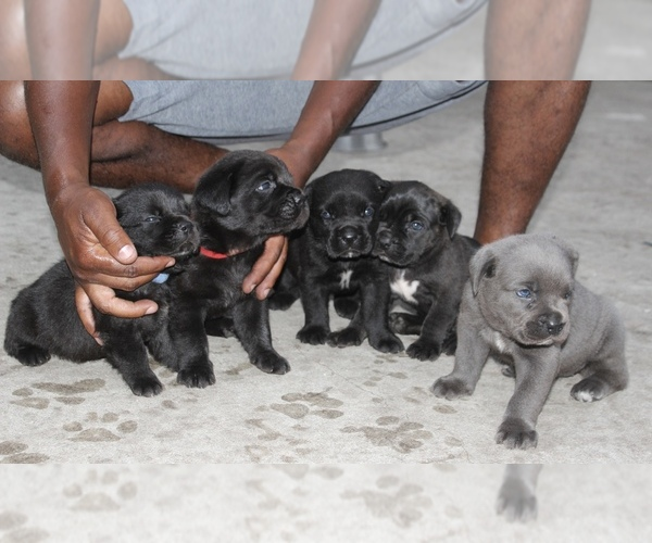 Medium Photo #6 Cane Corso Puppy For Sale in MIAMI GARDENS, FL, USA