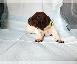 German Shorthaired Pointer Puppy for Sale in BLUE SPRINGS, Mississippi USA