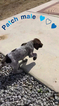 German Shorthaired Pointer Puppy For Sale in EASTVALE, CA, USA