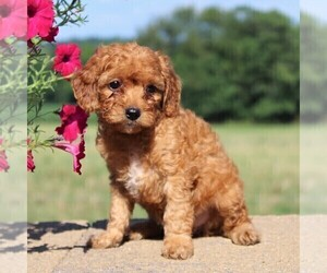 Cockapoo-Poodle (Toy) Mix Puppy for sale in PARADISE, PA, USA
