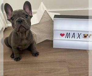 French Bulldog Puppy for Sale in JERSEY CITY, New Jersey USA