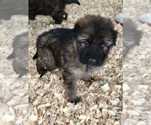 German Shepherd Dog Puppy for sale in MULDROW, OK, USA