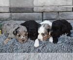 Small #1 Aussiedoodle-Poodle (Miniature) Mix