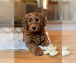 Small #7 Australian Labradoodle