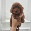 Poodle (Toy) Puppy For Sale in RIVERSIDE, California,