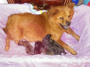 Chow Chow-Labrador Retriever Mix Puppy for sale in HOLIDAY, FL, USA