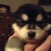 Alaskan Malamute Puppy For Sale in SPRING, TX, USA