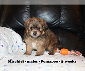 Pomeranian-Poodle (Toy) Mix Puppy for sale in CLARKRANGE, TN, USA