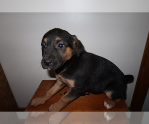 Australian Cattle Dog Puppy for sale in BLOOMINGTON, IN, USA