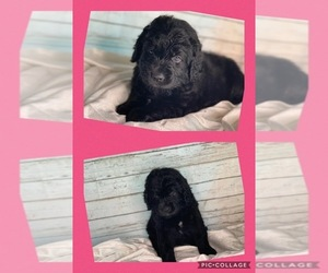 Newfoundland Puppy for sale in ADAMS, TN, USA