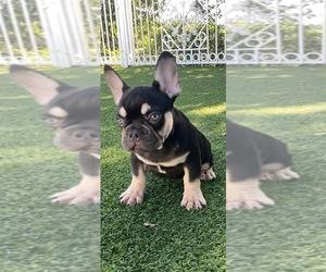 French Bulldog Puppy for sale in GRANADA HILLS, CA, USA