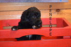 Puppy 6 Golden Mountain Dog