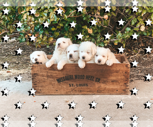 Great Pyrenees Puppy for sale in PITTSBURG, KS, USA