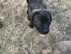 Cane Corso Puppy For Sale in GASTON, SC,