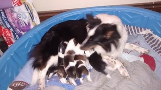 Shetland Sheepdog Puppy For Sale in MEDIAPOLIS, IA, USA