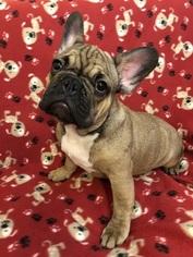 French Bulldog Puppy For Sale near 11235, Brooklyn, NY, USA