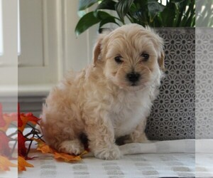 Maltipoo Puppy for sale in MANHEIM, PA, USA