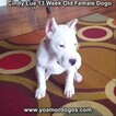 Small Photo #178 Dogo Argentino Puppy For Sale in PINEVILLE, MO, USA