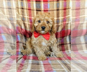 Cavapoo Puppy for Sale in NOTTINGHAM, Pennsylvania USA