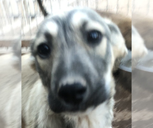 Kangal Dog Puppy for Sale in MESA, Arizona USA