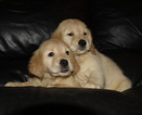 Golden Retriever Puppy For Sale in PORT SAINT LUCIE, Florida,