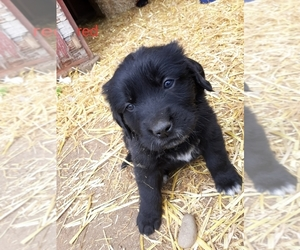 Saint Bernard Dog for Adoption in CRAIG, Colorado USA