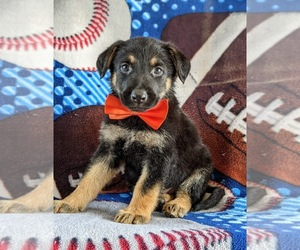 German Shepherd Dog Puppy for sale in LINCOLN UNIV, PA, USA