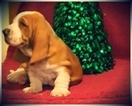 Basset Hound Puppy For Sale in WINDSOR, MO, USA