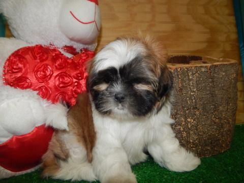 Shorkie Tzu puppy
