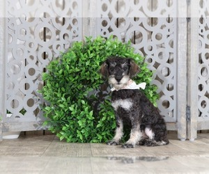 Schnoodle (Standard) Dog for Adoption in MOUNT VERNON, Ohio USA