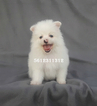Ice white pomeranian puppy male Teddy Bear
