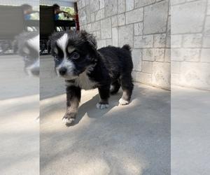 Miniature Australian Shepherd Puppy for Sale in ARDMORE, Oklahoma USA