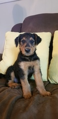 Airedale Terrier Puppy For Sale in COLUMBUS, IN, USA