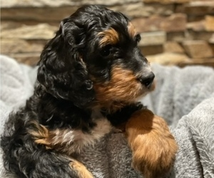 Bernedoodle Puppy for Sale in NEW LENOX, Illinois USA